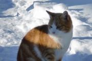 Hur katter anpassar sig till kallt klimat