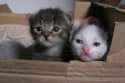 Att ta hand om moderlösa kattungar, en inledning